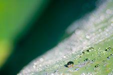 Free Lotus Leaf Morning Dew Royalty Free Stock Photo - 4468935