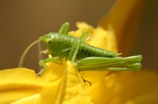 Free Green Locust Royalty Free Stock Photos - 4469028