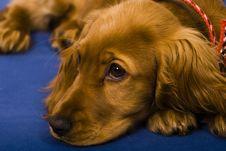 Free Cocker Puppy Stock Photos - 4469123