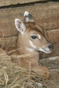 Free Young Deer Royalty Free Stock Photography - 4469217
