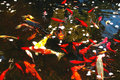 Free Koi Fish Pond Royalty Free Stock Images - 4472149