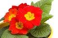 Free Detail Of Primrose Stock Image - 4475471