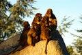 Free Sunbathing Apes Royalty Free Stock Photography - 4477927