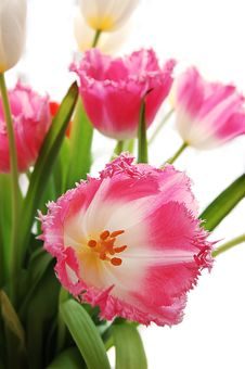 Free Pink Tulips Stock Photography - 4470252