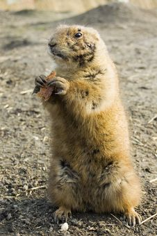 Free Prairie Dog Royalty Free Stock Image - 4470686