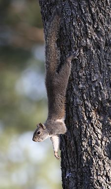 Free Squirrel Royalty Free Stock Photography - 4471377