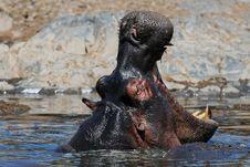 Yawning Hippo Stock Images