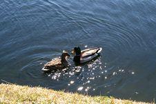 Free Mallard Ducks Stock Image - 4472121
