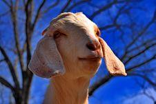 White Boer Goat Royalty Free Stock Image