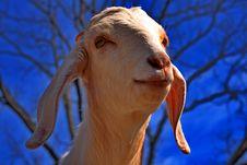 Friendly White Boer Goat Stock Photo