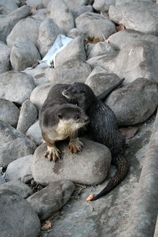 Free Otter Water Dog Stock Photography - 4473062