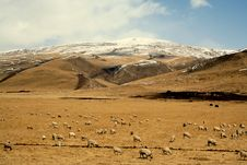 Free Sheep Flock Under The Snow Mountains Stock Image - 4473691