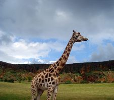 Free Giraffe (Giraffa Camelopardalis) Stock Photo - 4474330