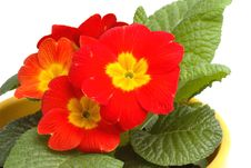 Free Detail Of Primrose Stock Image - 4475471