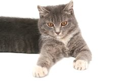 Sight Of A Small Grey Kitten Royalty Free Stock Photo