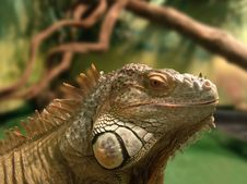 Free Iguana Royalty Free Stock Image - 4475826