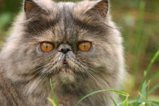 Free Grey Cat On A Background Of A Green Grass Stock Image - 4475981