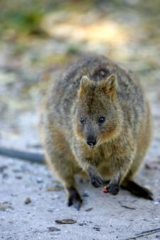 Free Australian Quokka Stock Photo - 4476120