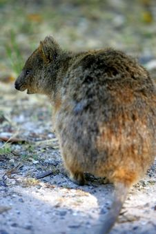 Free Australian Quokka Royalty Free Stock Photo - 4476195