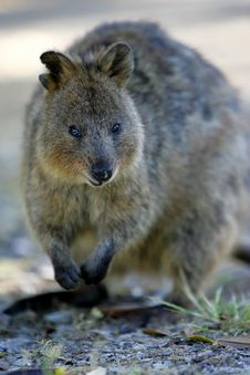 Australian Quokka Stock Images