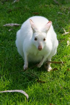 Free White Wallaby Royalty Free Stock Photos - 4476578