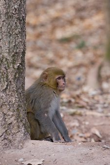 Wild Monkey Stock Photography