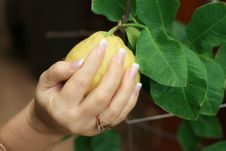 Free Manicure On A Lemon Stock Photos - 4477553