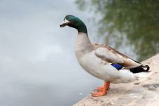 Free Mallard Duck Stock Image - 4479191
