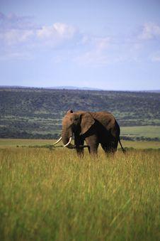 Single Elephant Royalty Free Stock Photography