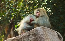 Free Baboon Monkey Chilling In The Zoo Stock Photography - 44773212