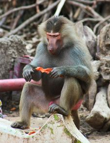 Free Baboon Monkey Chilling In The Zoo Stock Photography - 44775222