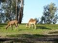 Free Deer Grazing Stock Photos - 4480713