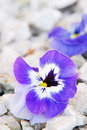 Free Violet Flower Stock Photo - 4482770