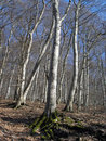 Free Beech Forest Stock Image - 4486131