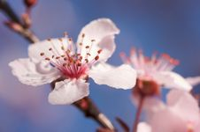 Free Early Spring Tree Blossoms Stock Images - 4480324