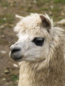 Free Alpaca Stock Photo - 4480400
