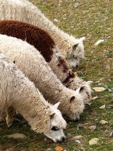 Free Alpacas Royalty Free Stock Image - 4480426
