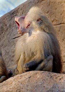 Baboon 12 Stock Images