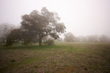 Foggy Countryside And Oak Trees Stock Photo