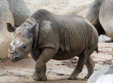 Female Black Rhinoceros Royalty Free Stock Images