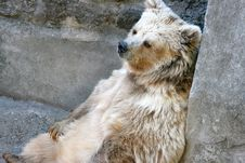 Free The Himalaya Bear An Albino Royalty Free Stock Photo - 4481485