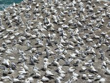 Free Gannets Crowding On Auckland Beach Royalty Free Stock Image - 4481606
