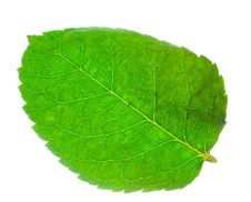 Green Leaf From Rose Stock Image