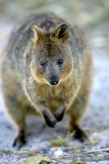 Australian Quokka Royalty Free Stock Image