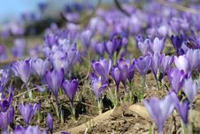 Free Crocus On The Field Stock Photos - 4482483