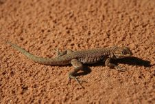 Free Lizard Stock Photography - 4482622