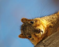 Fox Squirrel Stock Photography