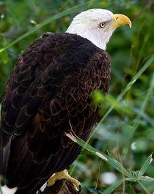Free Bald Eagle Royalty Free Stock Photos - 4483888