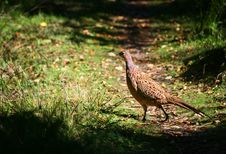 Golden Pheasant At Brownsea Island Stock Image
