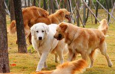 Free Golden Retriever Stock Image - 4484971